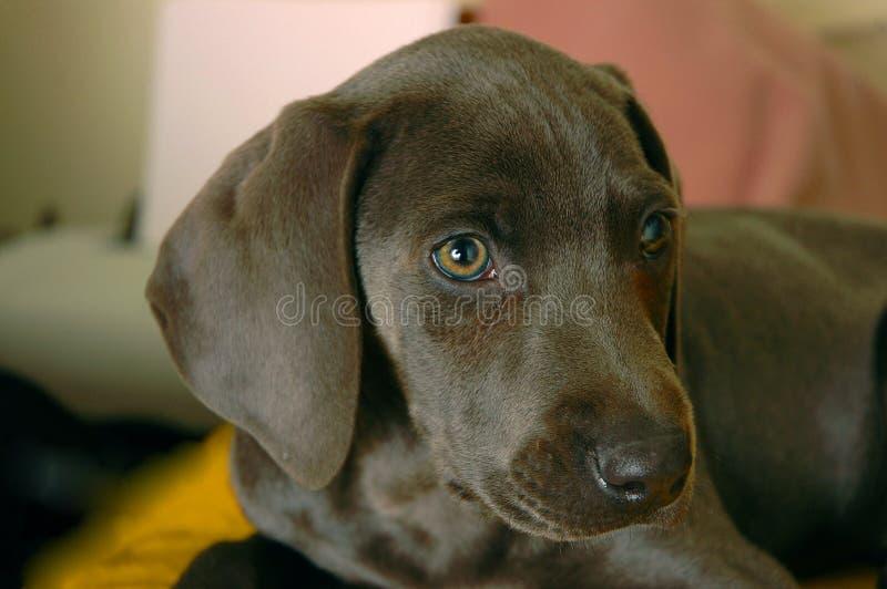 Weimaraner puppy royalty free stock photo