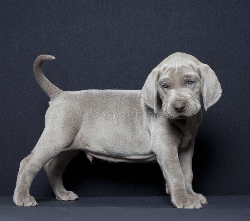 Download Weimaraner puppy stock photo. Image of domestic, pure - 30732928