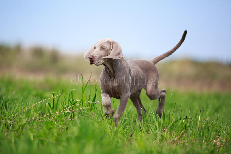 Download Weimaraner puppy stock photo. Image of pointer, nature - 31391508