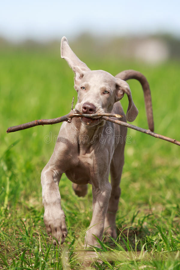 Download Weimaraner puppy stock image. Image of animal, field - 31391165
