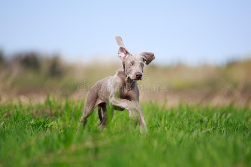 Download Weimaraner Puppy Stock Images - Image: 31391964