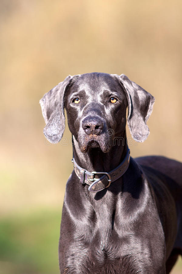 Weimaraner purebred dog outside portrait.  stock image