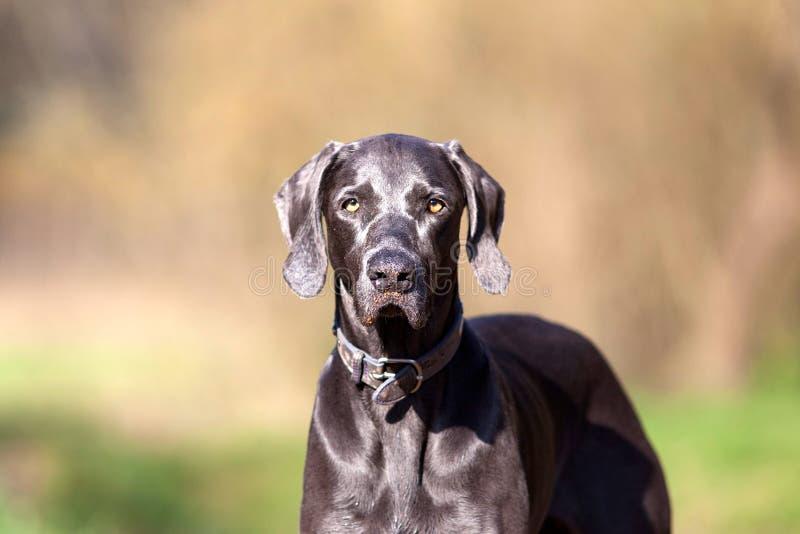 Weimaraner purebred dog outside portrait.  royalty free stock photos