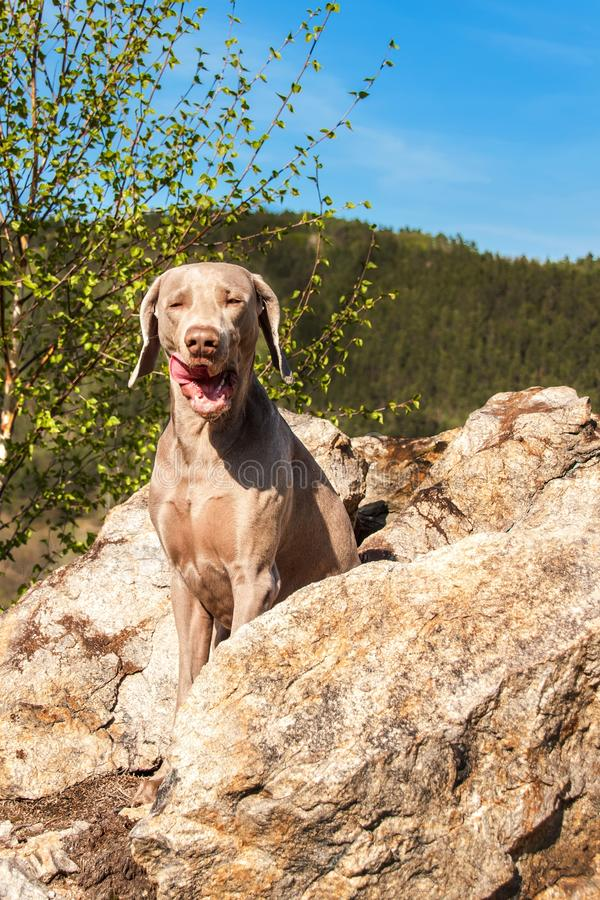 Weimaraner on rock in forest. Hunting dog on the hunt. Spring walk through the forest with a dog.  Hound on the hunt.  royalty free stock photo