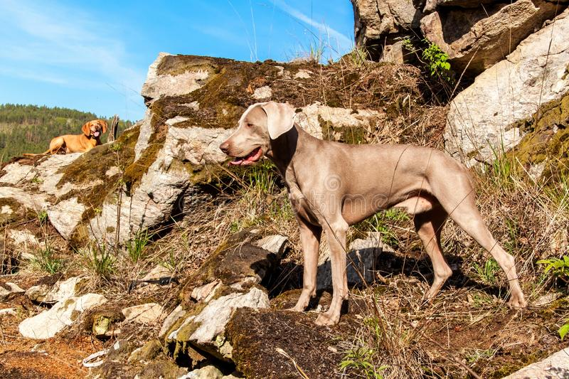 Weimaraner on rock in forest. Hunting dog on the hunt. Spring walk through the forest with a dog.  Hound on the hunt.  stock image