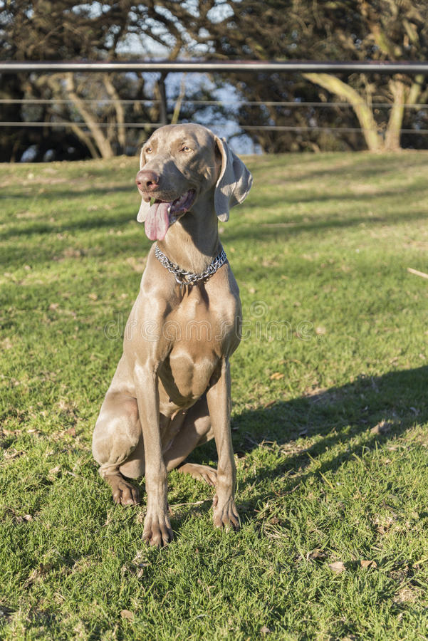 Weimaraner Sitting on the Grass. A happy dog, sitting on the grass, purebred hunting female Weimaraner, also known as silvery-gray, gray ghost or silver ghost royalty free stock images
