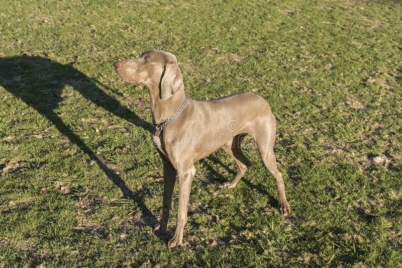 Weimaraner Standing Profile. A female Weimaraner dog, standing on the grass in a park, looking at the left, hunting purebred, also known as silvery-gray, gray royalty free stock photo