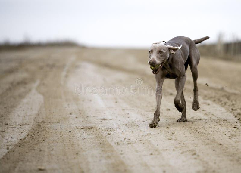 Download Weimaranerhond stock foto. Afbeelding bestaande uit mond - 39100696