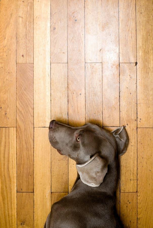 Download Weimaranerhond stock afbeelding. Afbeelding bestaande uit hierboven - 39102077
