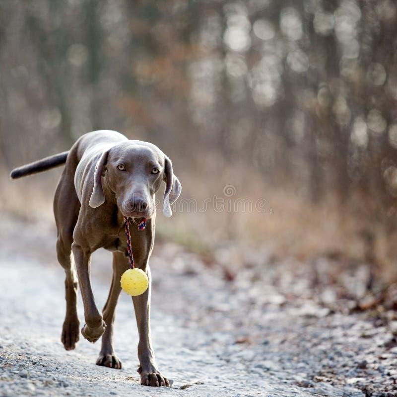 Download Weimaranerhond met een bal stock foto. Afbeelding bestaande uit walking - 39102102