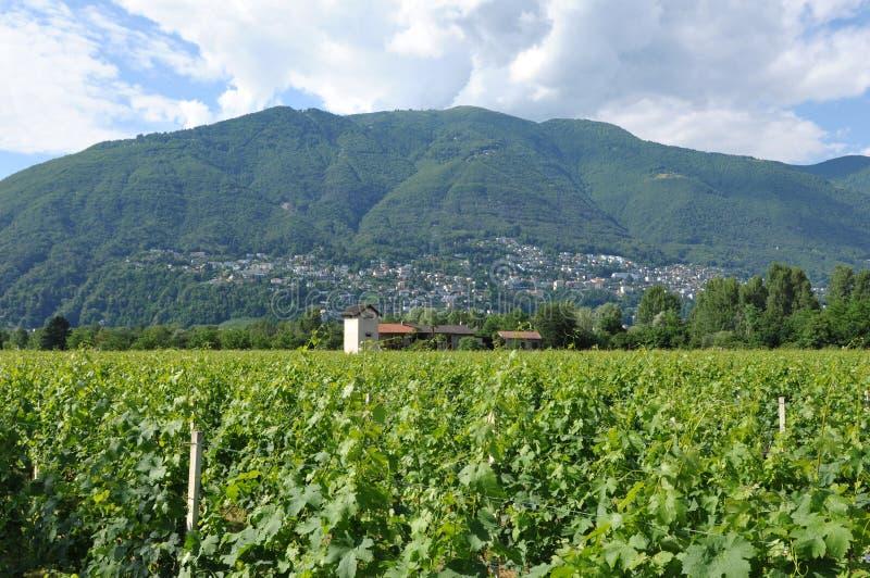 Wein, der im Maggia-Fluss-Delta nahe Ascona und Locarno C bewirtschaftet stockfoto