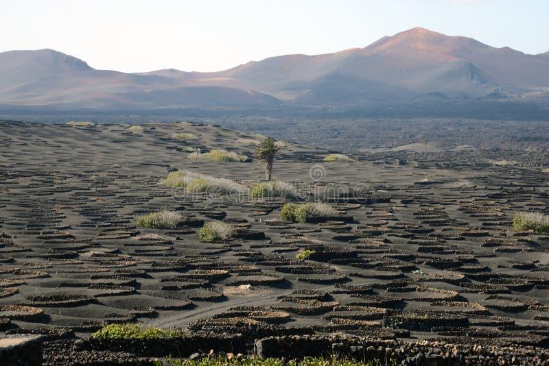 Weinanbau in der Lava von Lanzarote stockbilder