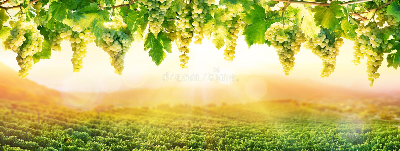 Weinbau bei Sonnenuntergang - weiße Trauben-Hängen lizenzfreie stockfotos