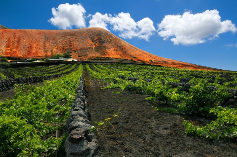 Weinberg auf Lanzarote, Kanarische Inseln stockfotos