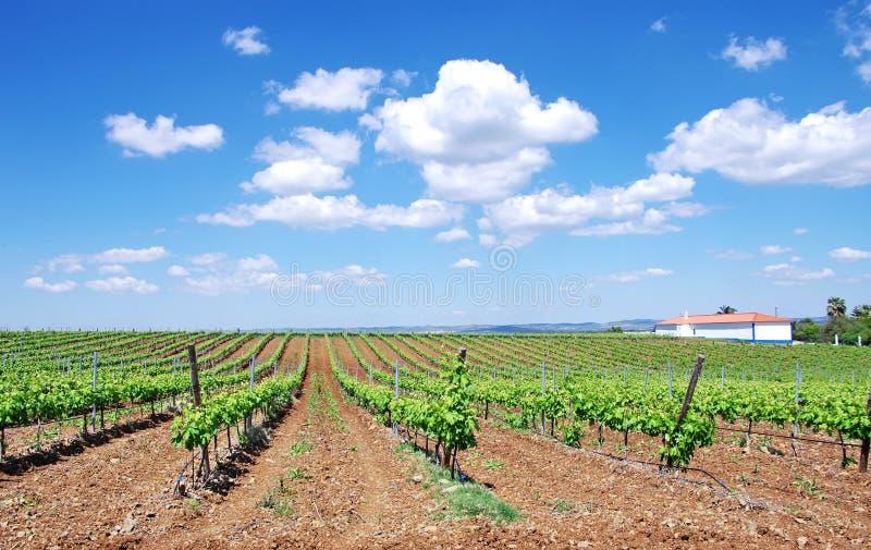 Weinberg bei südlich von Portugal lizenzfreies stockbild