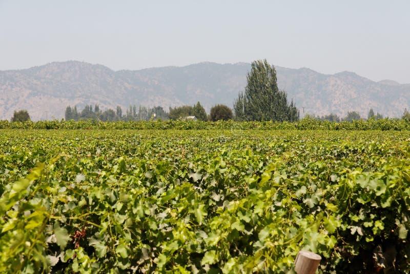 Weinberg in Chile stockbild