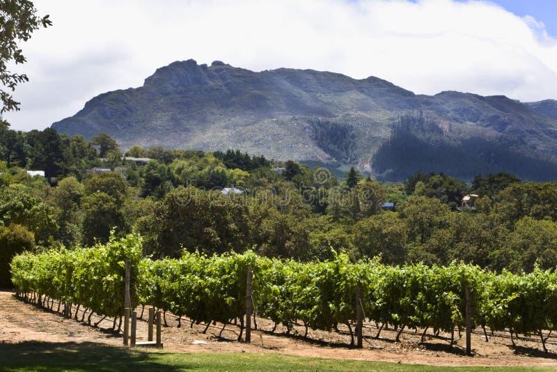 Weinberg des Weinbauernhofes Groot Constantia lizenzfreie stockfotos