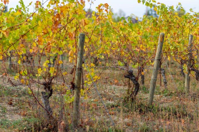 Weinberg im Herbst H?lzerne Pfosten mit ausgedehntem Metalldraht st?tzen den Weinberg Trockenes Gras und gelbe Blätter stockfotografie