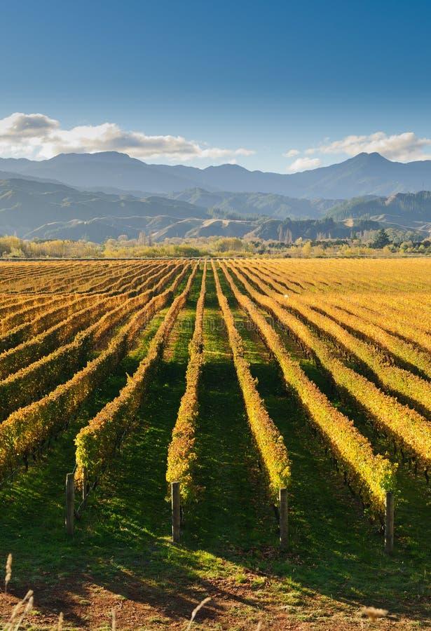 Weinberg im Marlborough-Bezirk stockfoto
