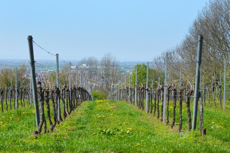 Weinberg im Vorfrühling mit noch bloßen Anlagen auf grünem Gras lizenzfreie stockbilder