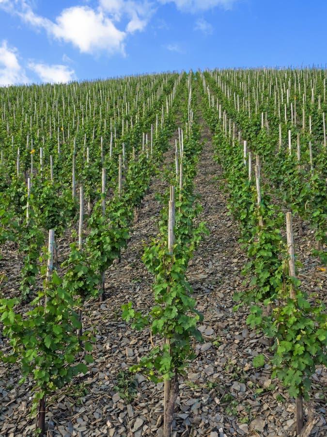 Weinberg mit Reihen des Weinstocks lizenzfreie stockfotos