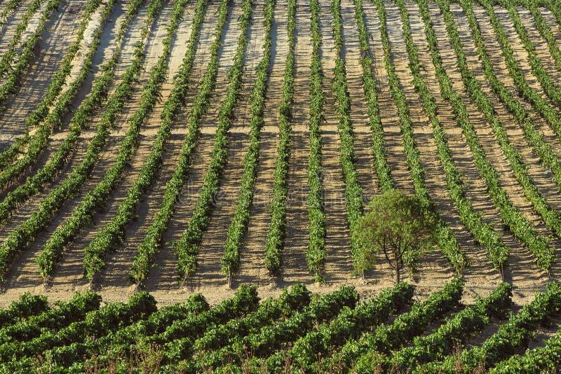 Weinberg mit Trauben lizenzfreies stockfoto