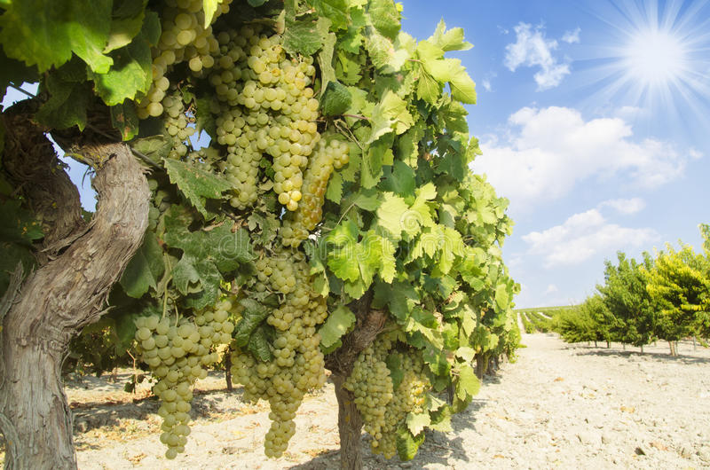 Weinberg mit Trauben am sonnigen Tag stockbild