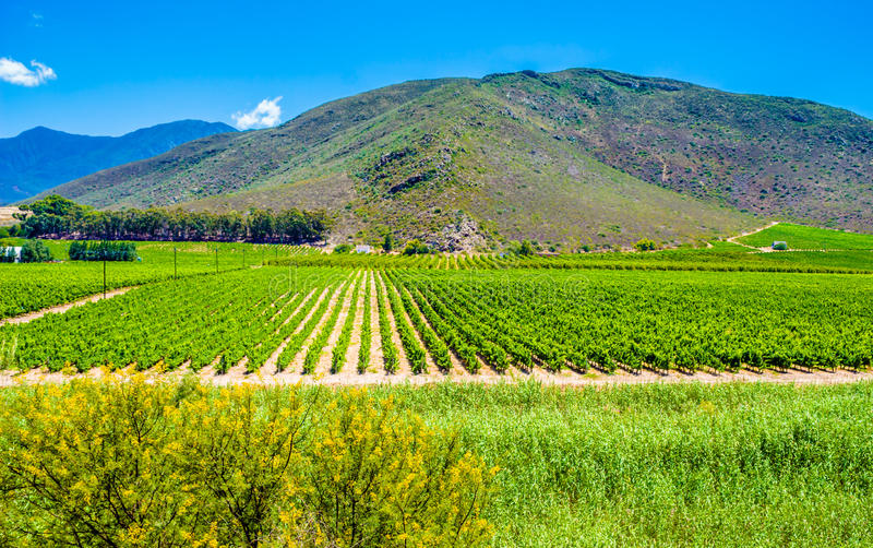 Weinberg nahe Montagu, Südafrika - Reihen von jungen Weinreben stockfotografie