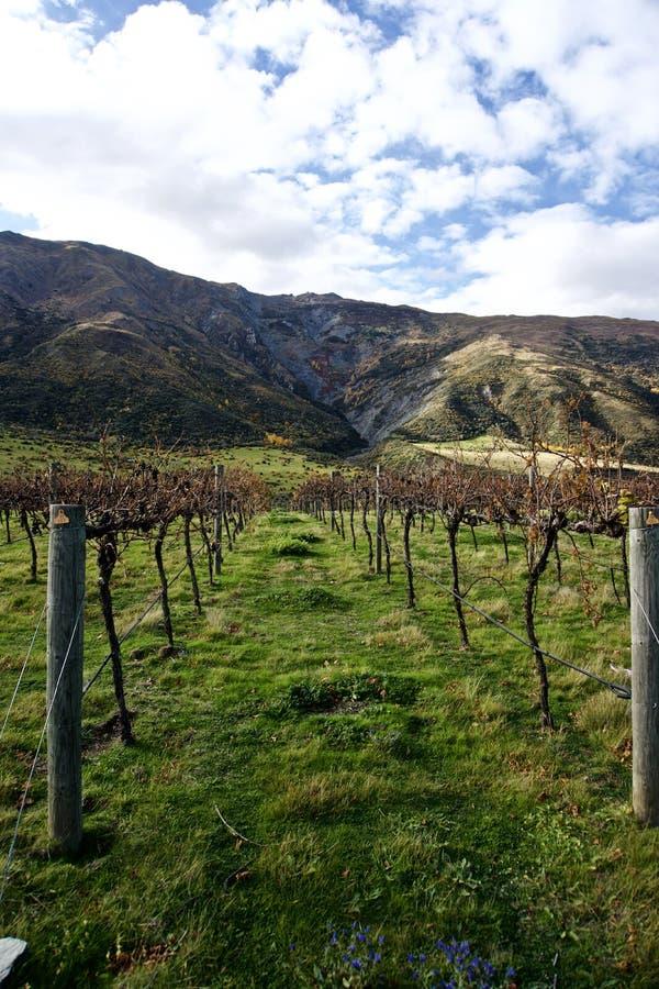 Weinberg, nahe Queenstown, Neuseeland lizenzfreies stockbild
