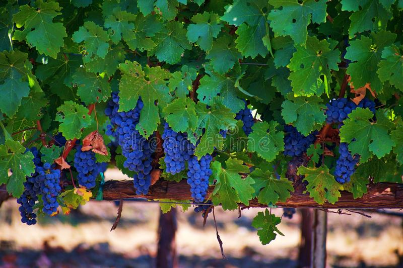 Weinberg in Napa Valley stockfotografie