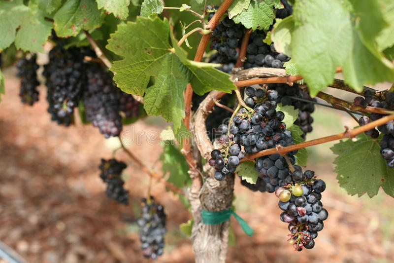 Weinberg, Napa- Valleyweinanbaugebiet, Kalifornien stockbilder