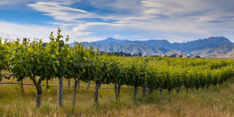 Weinberg Neuseelands organischer Marlborough-Bereich stockbilder