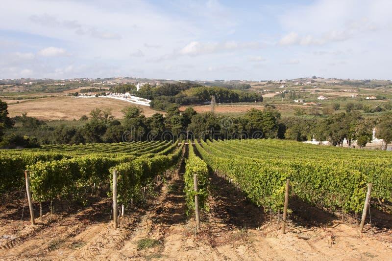 Weinberg in Portugal stockbilder