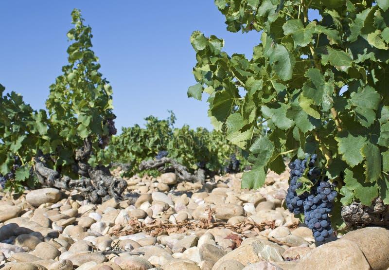 Weinberg, Provence. Frankreich. lizenzfreie stockbilder