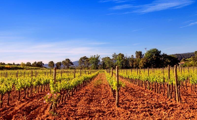 Weinberg in Provence, Frankreich stockbild