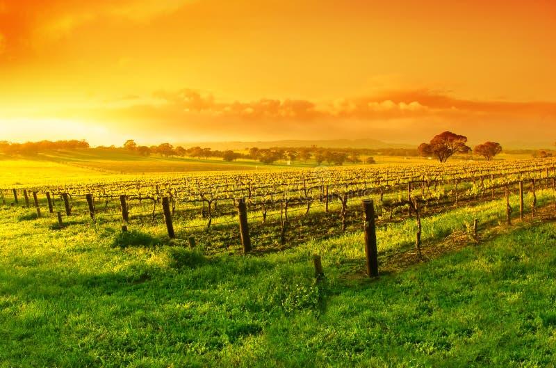 Weinberg-Sonnenaufgang lizenzfreie stockfotografie