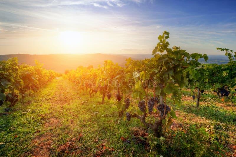 Weinberg in Toskana, reife Trauben bei Sonnenuntergang lizenzfreie stockbilder