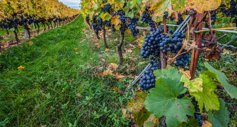 Weinberg und Trauben lizenzfreies stockbild