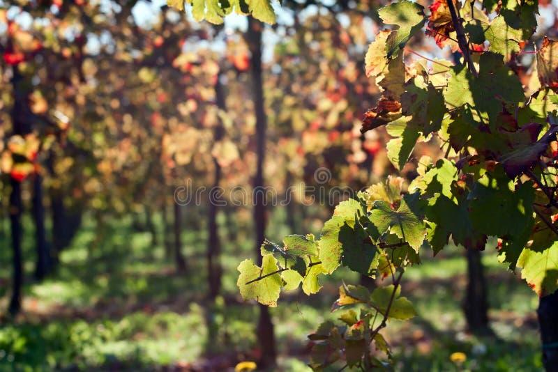 Weinberg verlässt in einem sonnigen Tag während des Herbstes lizenzfreies stockbild