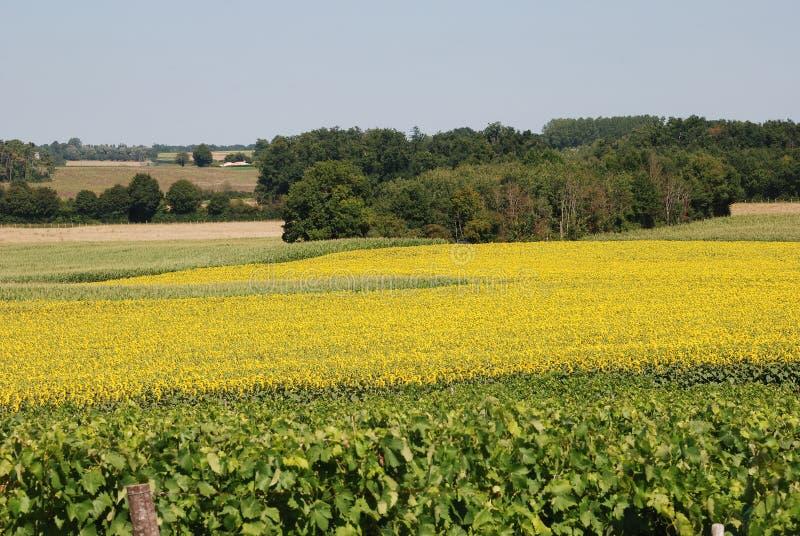 Weinberg vor einem Feld von Sonnenblumen stockbild