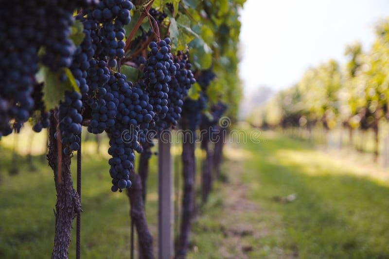 Weinberg vor Ernte an einem sonnigen Tag lizenzfreie stockfotos