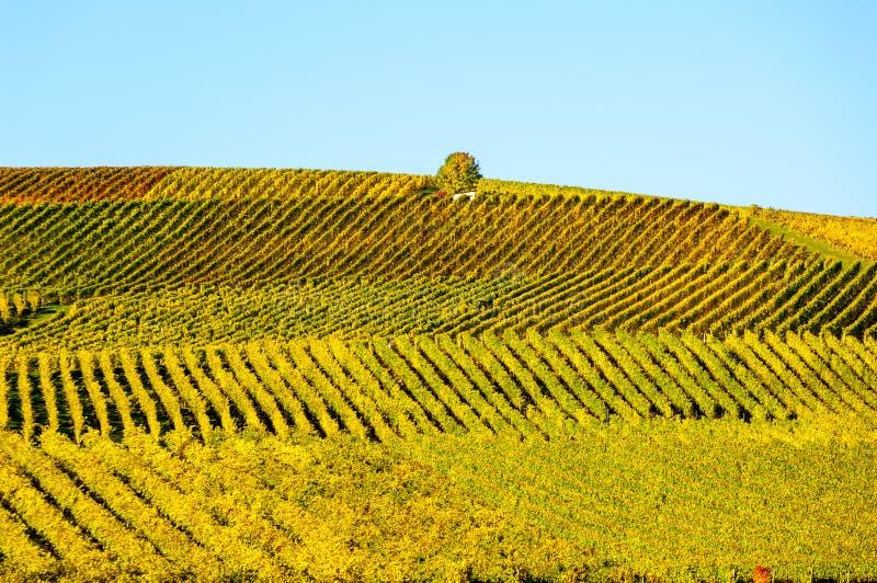 Weinberg während des autum in Rhein-Hessen, Rheingau, Deutschland stockfoto