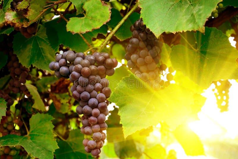 Weinberge bei Sonnenuntergang im Herbst Reife purpurrote Trauben in den Strahlen der Sonne Erntende Zeit Selektiver Fokus stockfoto