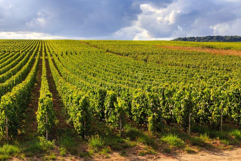 Weinberge in Champagne, Frankreich lizenzfreies stockbild