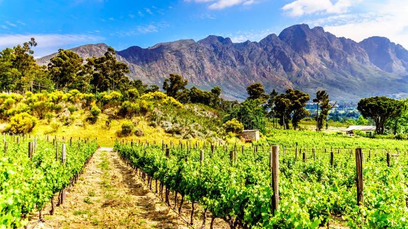 Weinberge des Kaps Winelands im Franschhoek-Tal im Westkap von Südafrika stockbild