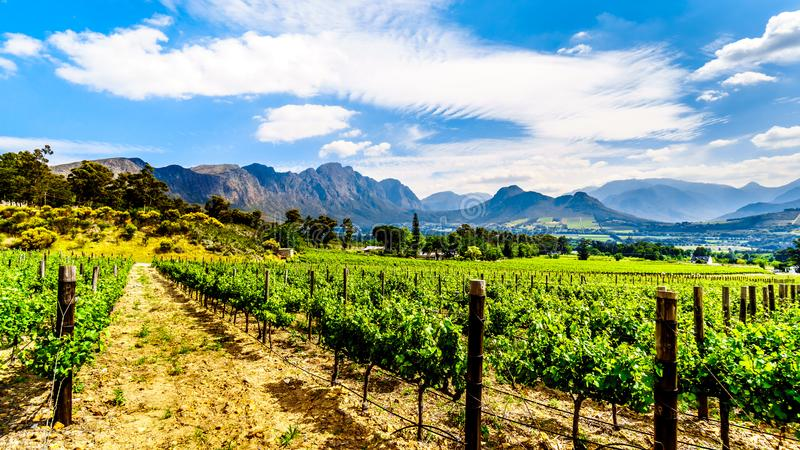 Weinberge des Kaps Winelands im Franschhoek-Tal im Westkap von Südafrika, unter dem umgebenden Drakenstein lizenzfreie stockfotografie