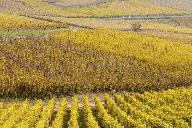 Download Weinberge im Herbst stockbild. Bild von traube, betrieb - 26374277