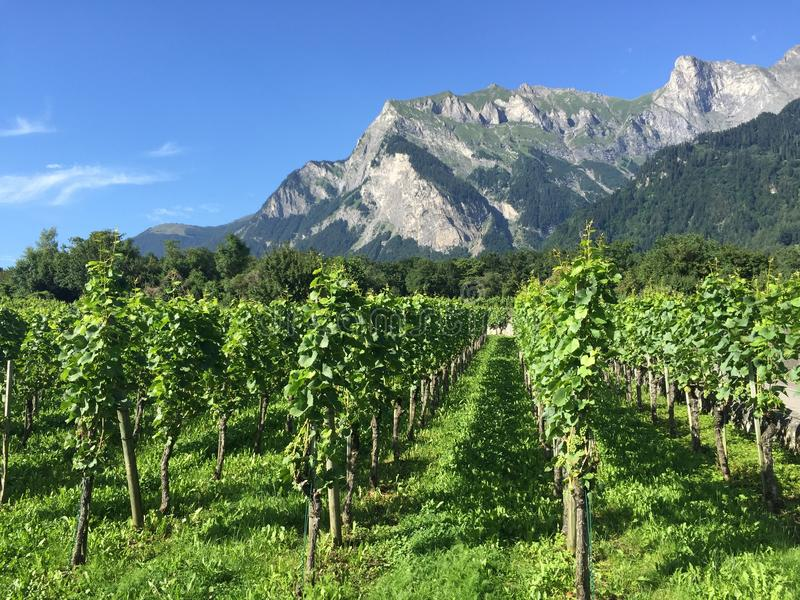 Weinberge Maienfeld Graubuenden die Schweiz Sommer stockfotos