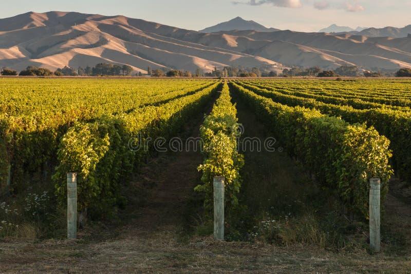 Weinberge in Marlborough lizenzfreie stockfotos