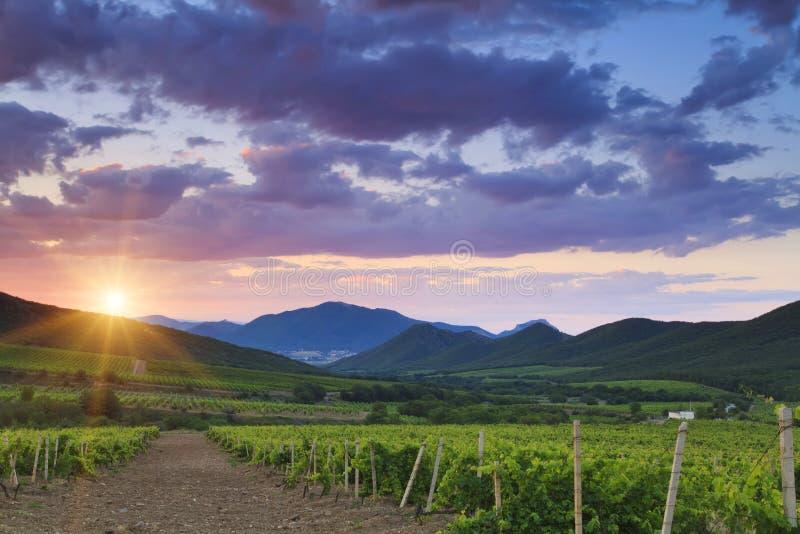 Weinberge am Sonnenuntergang lizenzfreies stockfoto